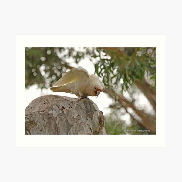 Long-billed Corella  (430) Art Print