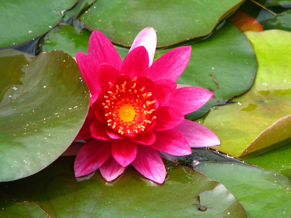 Pink Water Lily by IndyLady