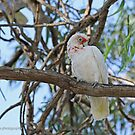 Long-billed Corella  (1049) by Emmy Silvius
