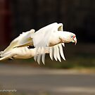 Long-billed Corella  (1051) by Emmy Silvius
