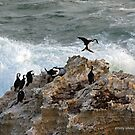Black-faced Cormorant  (811) by Emmy Silvius