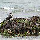 Little Pied Cormorant  (A1000) by Emmy Silvius