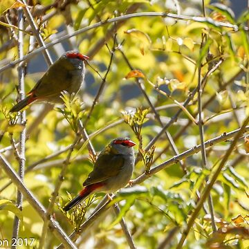 Red Browed Finches by pcbermagui