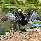Little Pied Cormorant  (1129) by Emmy Silvius