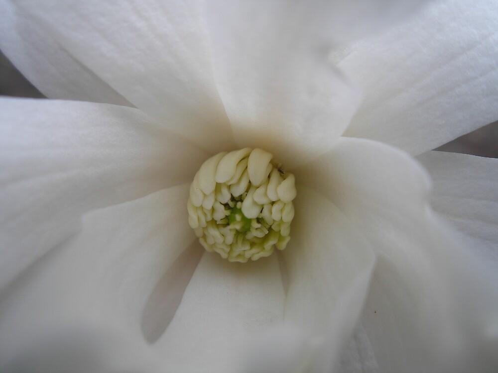 Magnolia in Bloom by Kim Graham