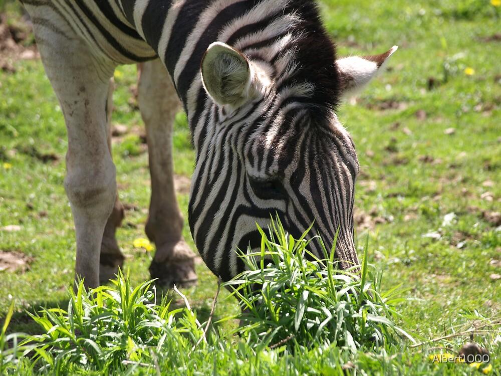 NC zebra by Albert1000