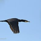 Great Cormorant  (820) by Emmy Silvius