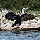 Pied Cormorant  (679) by Emmy Silvius