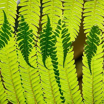 Ferns Overlay by cooksee