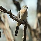 Fan-tailed Cuckoo  (5712) by Emmy Silvius