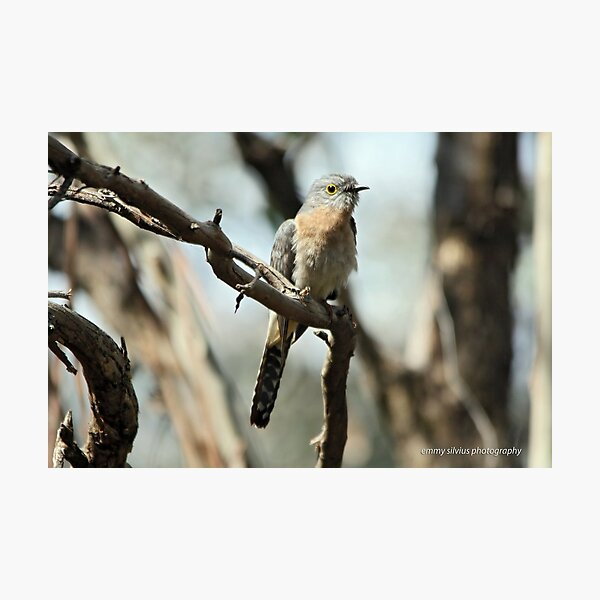 Fan-tailed Cuckoo  (5712) Photographic Print
