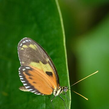 Butterly on a Leaf by cooksee