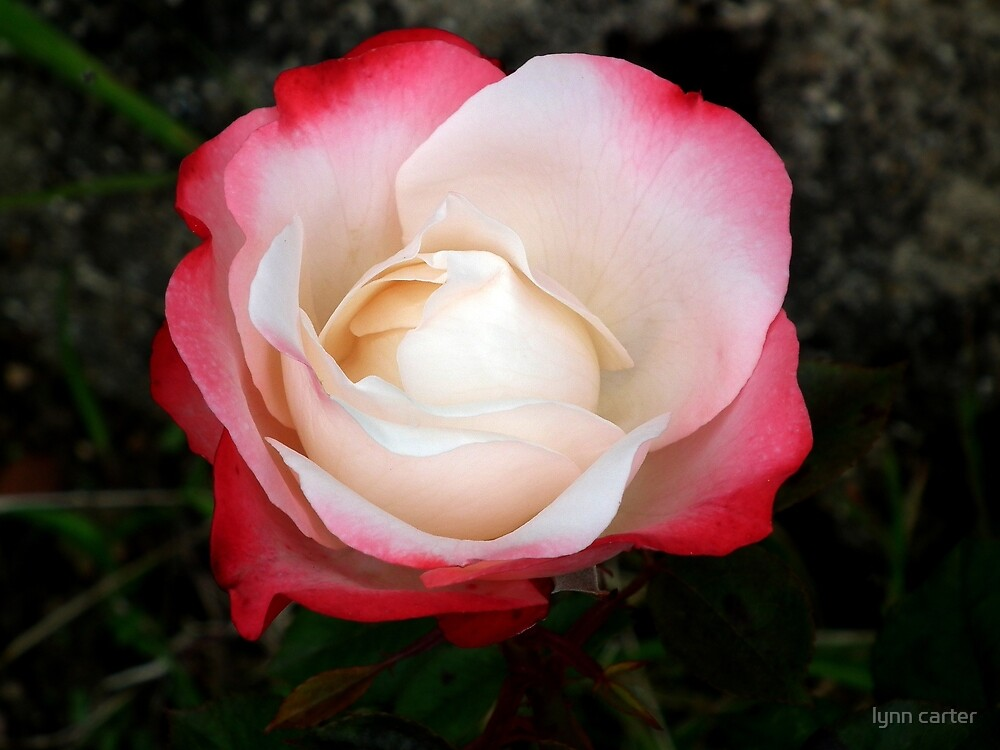 My Garden Rose by lynn carter