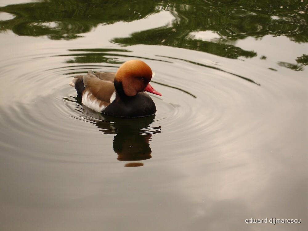 shy duck by edward dijmarescu
