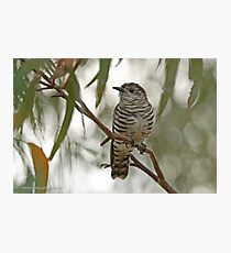 Shining Bronze Cuckoo  (499) Photographic Print