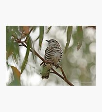 Shining Bronze Cuckoo  (522) Photographic Print