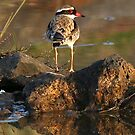 Black-fronted Dotterel  (129) by Emmy Silvius