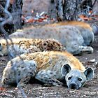 HAPPY and well fed  HYENA'S - Crocuta crocuta by Magriet Meintjes