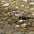 Black-fronted Dotterel  (525) by Emmy Silvius
