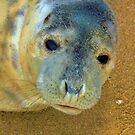 Seal Pup 1 by Wrigglefish