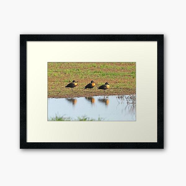 Australian Shelducks  (006) Framed Art Print