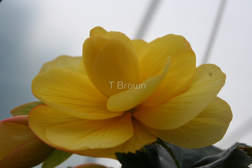 Yellow Lush by T Brown