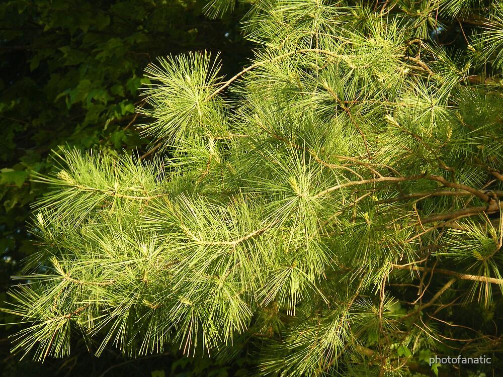 green pine by photofanatic