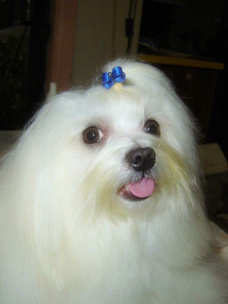 MY MALTESE, TY. by the6tees