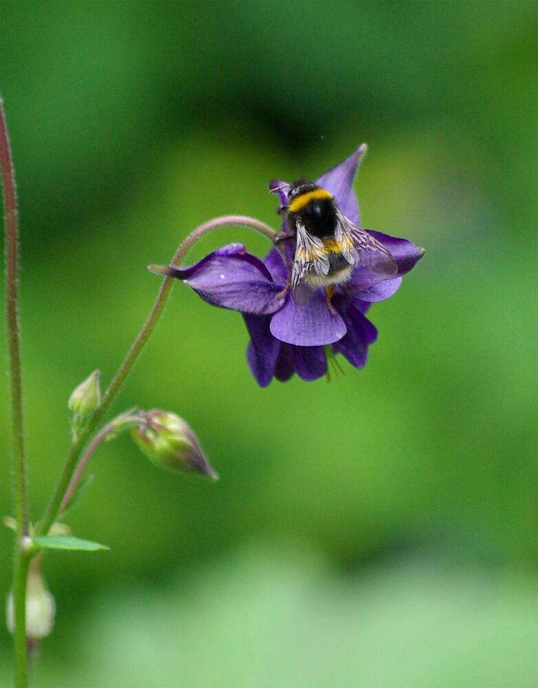 Aquilegia & Bumble Bee by Degri