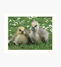 Lesser Snow Goose Goslings Art Print