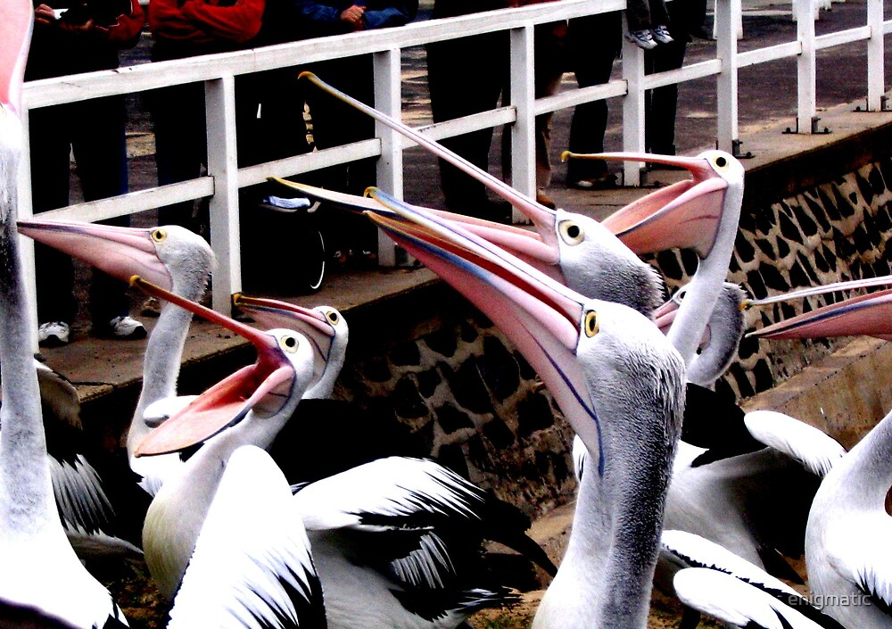Pelican Squabble by enigmatic