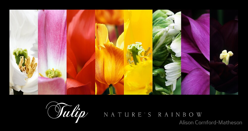 Tulip - Nature's Rainbow by Alison Cornford-Matheson