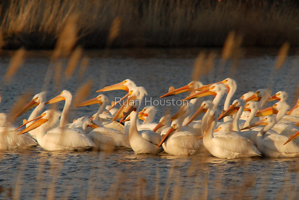 Pelicans - Last Light of Day by Ryan Houston