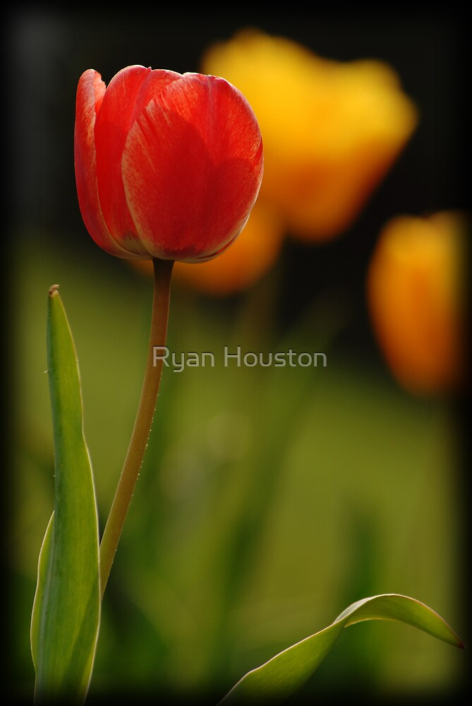Tulips by Ryan Houston