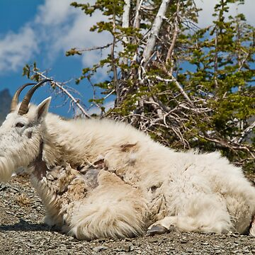 Mountain Goat by w1ldsnaps