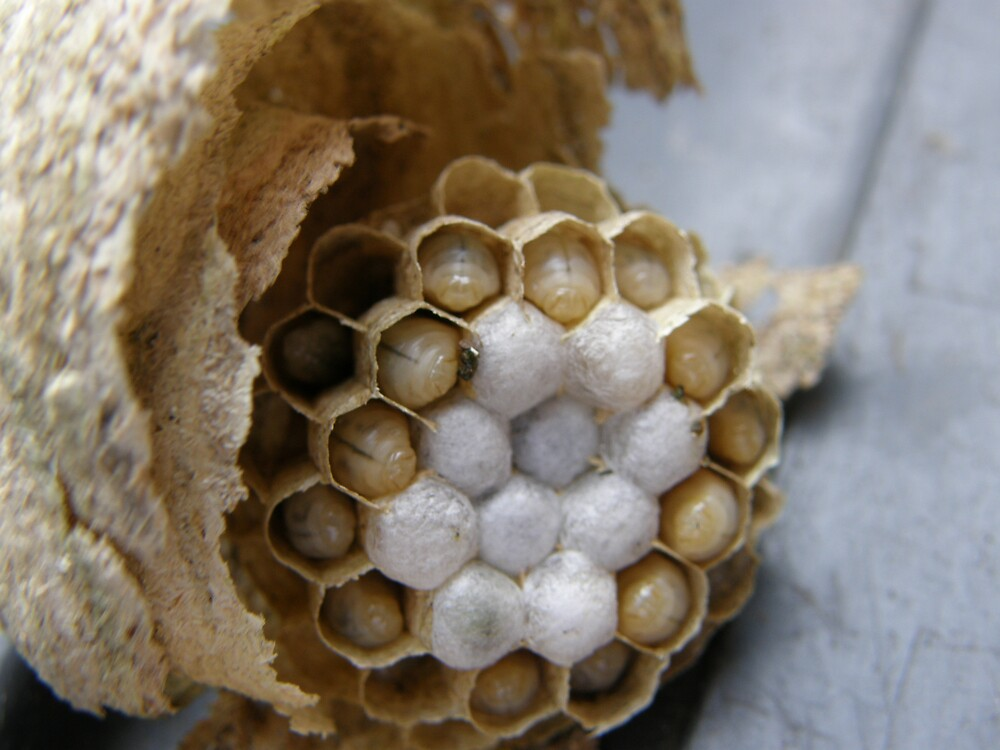 Wasp Nest by trgm1