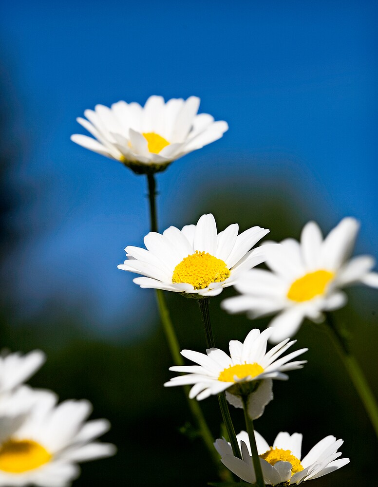 Coming up Daisies  by neatimages