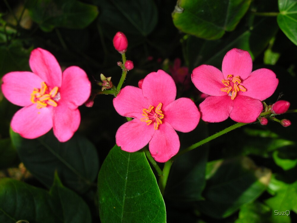 pink flowers on Maui by SuzQ