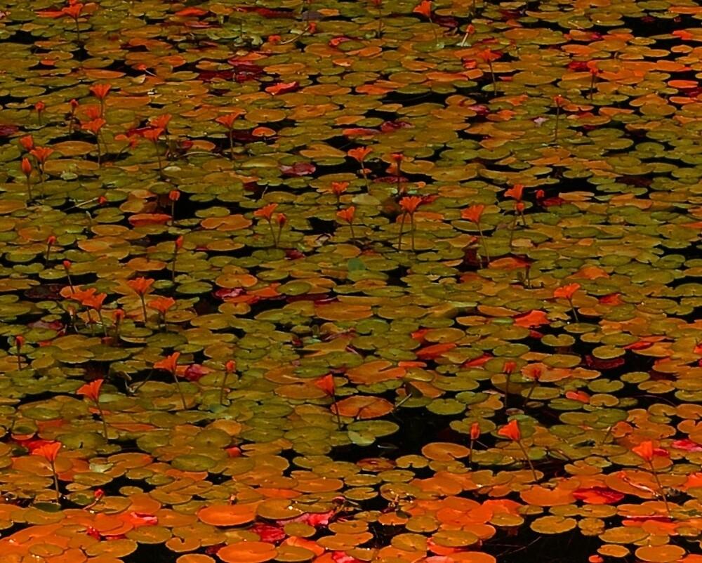 Orange Waterlilies by Tom  Reynen