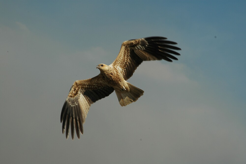 Northern Territory Hawk by Ian McKenzie