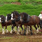 Clydesdale Team, Farm World, Warragul by Bev Pascoe