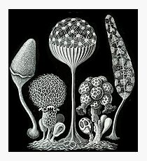 Ernst Haeckel Slime Mold illustrations from 1900 Photographic Print