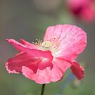 Shirley Poppy 2017-1 by Thomas Young