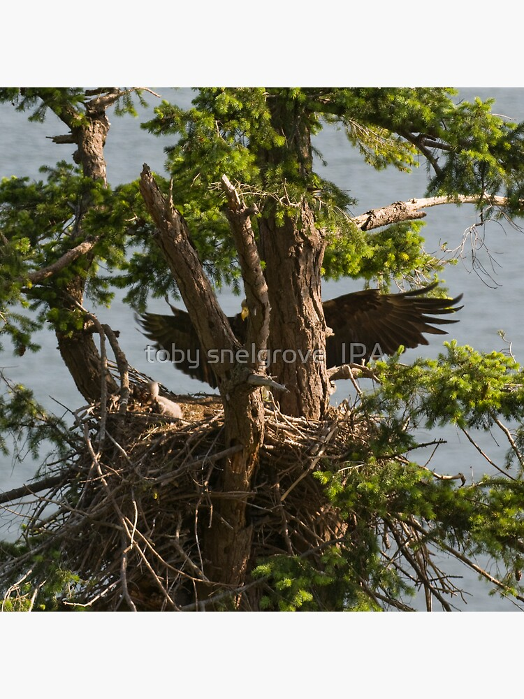 Mother Eagle Arriving by tobysnelgrove
