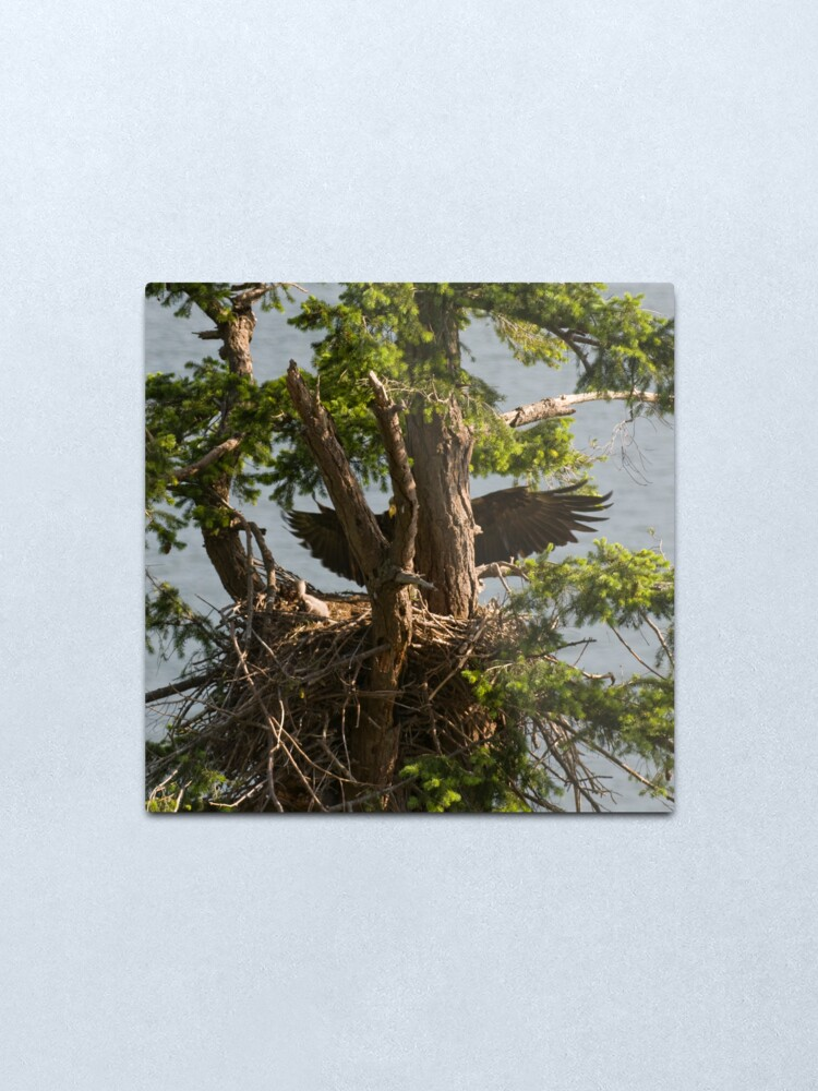 Alternate view of Mother Eagle Arriving Metal Print