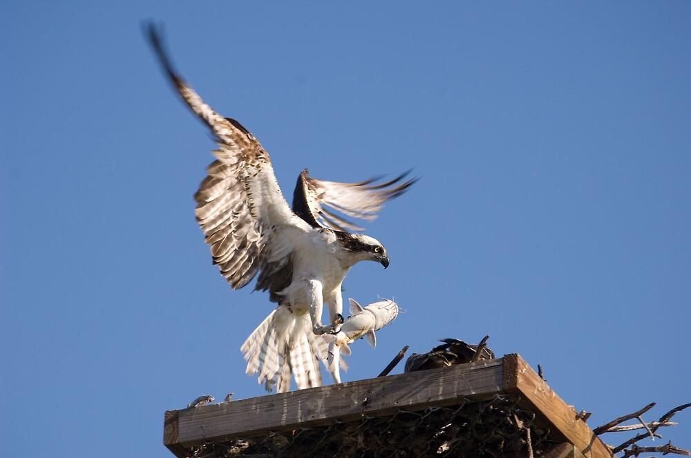 Osprey - Florida by Simon Coates