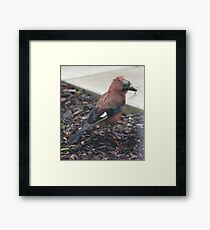 Jay nest building Framed Print