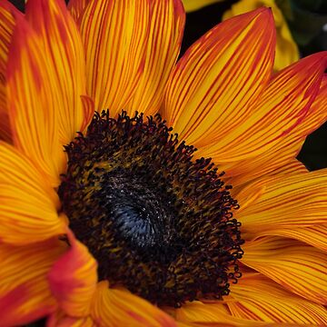 Orange Sunflower by sgrace