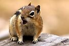 Baby Ground Squirrel by Betsy  Seeton