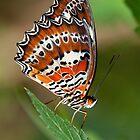 Orange Lacewing, Northern Territory, Australia by Erik Schlogl